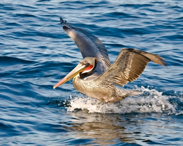 Pelagic Boat Trip - 2008 Morro Bay Winter Bird Festival, Baird